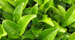 The endless benefits of green tea